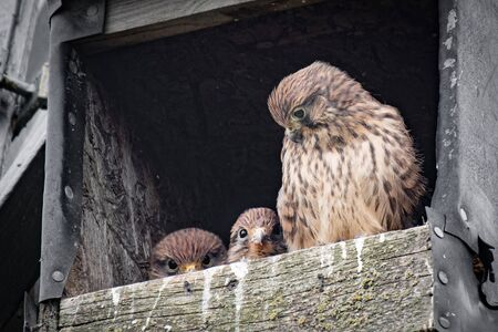 A female kestrel guards two of her young. Taken in a wooden nest box, two of the chicks are peering over the front