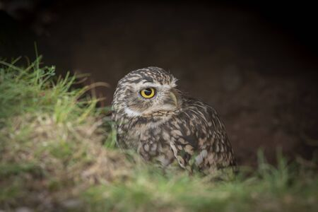 peering above the grass looking for predators to the right, this burrowing owl with large yellow eyes emerges from a hole in the ground