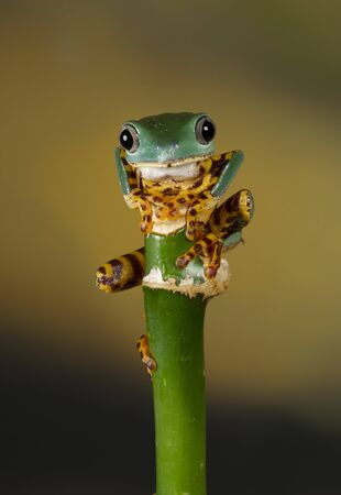 Balancing on top over a bamboo shoot, this super tiger legged tree frog is gripping the stalk, facing forward and looking at the camera