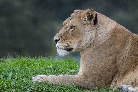 A close side profile head and shoulders portrait of a lioness relaxing on the grass