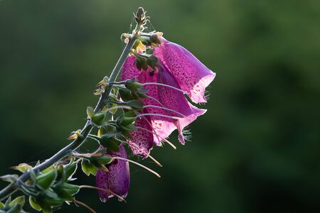 The top of a foxglove with pink flowers take very close from a side profile view Archivio Fotografico