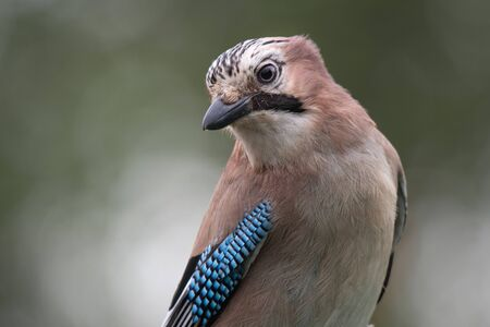 A close up half length portrait of a jay.