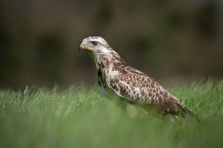 A Ferruginous hawk, buteo regalis, standing in a field and staring to the left.
