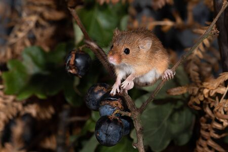 A close up portrait of a small harvest mouse balancing on branches with black currants