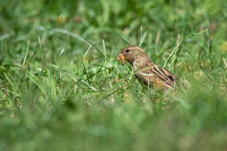 Taken at ground level, this female house sparrow, Passer domesticus, has a grub in her mouth.