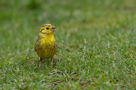 Taken at ground level, this male yellowhammer