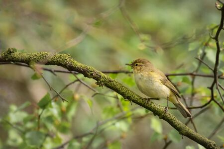 A chiffchaff, Phylloscopus collybita, is perched on a branch in a tree.