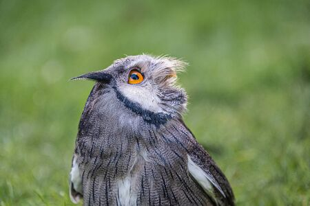 Close up portrait of a white faced scops owl. It is a half length and the bird is looking up to the sky. Natural green background with copy space