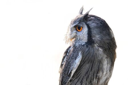 Half length profile portrait of a white faced scops owl isolated on a white background