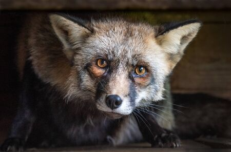 A very close portrait of the head and face of a fox. It is staring inquisitively straight at the camera with eyes wide open 免版税图像
