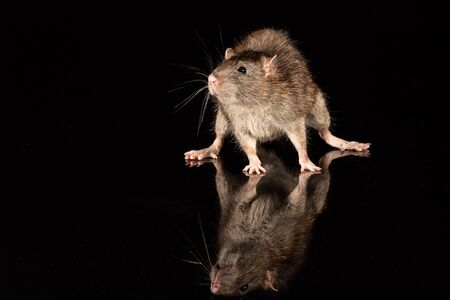A common rat on a reflective surface. The surround is black with copy space 免版税图像