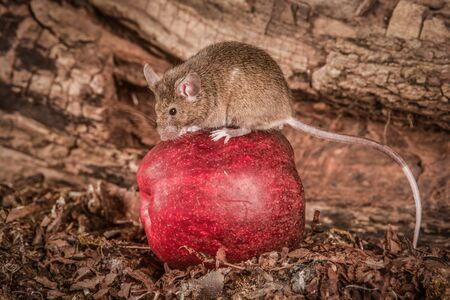 A full length portrait of a harvest mouse sitting on top of a red apple. 免版税图像