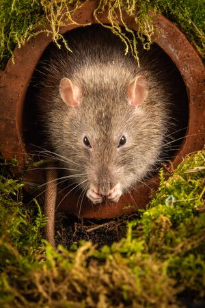 A common brown rat, Rattus norvegicus, just emerging from a drainpipe . Its head is showing as it preens its whiskers. It faces forward looking towards the camera