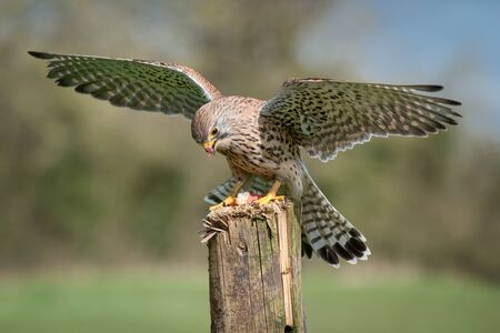 A captive kestrel, Falco tinnunculus, with wings out spread landing on an old wooden post. It has food on its beak from its prey 免版税图像