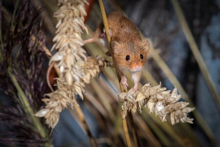 A small harvest mouse, Micromys minutus, facing forward. It is balancing on an ear of corn 免版税图像
