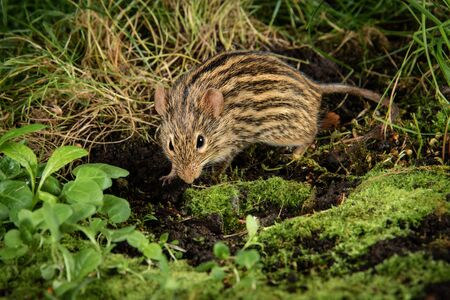 Close up of a zebra mouse scavenging in the undergrowth for food. Lemniscomys, sometimes known as striped grass mice or zebra mice