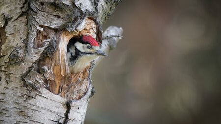A young great spotted woodpecker looking out from the nest. Its head if out of the hole in a silver birch tree 免版税图像