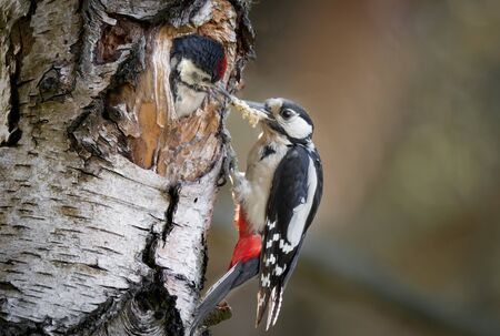 A female great spotted woodpecker, Dendrocopos major, feeding a juvenile . The young bird has its head out of a hole in a silver birch