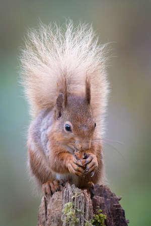 a portrait of a red squirrel, Sciurus, vulgaris,  feeding on a hazel nut. It is sat on a post facing forward showing its bushy tail and ear tufts 免版税图像