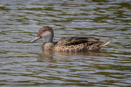 Profile portrait of a white cheeked pintail, Anas bahamensis,  swimming on a lake with no other birds in sight