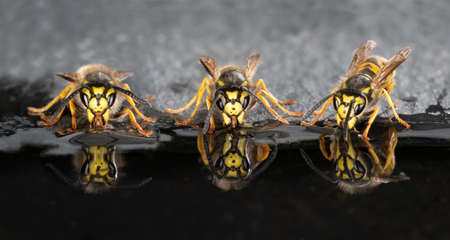 close up low level of three wasps at the waters edge drinking complete with reflections in the water