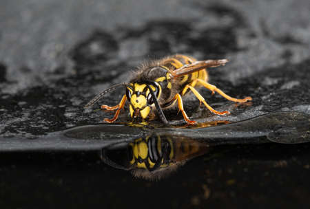 A close up of a single wasp at the edge of a pool drinking. The wasp is reflected in the water