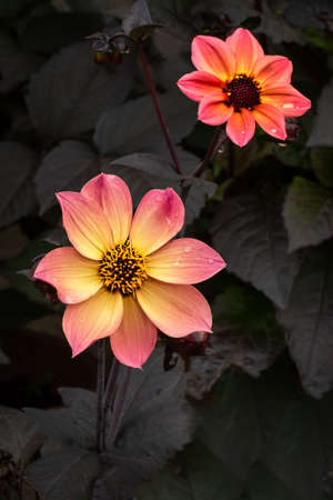 Close up of a species of dahlia. There are two flowers in the photograph, one in the foreground and one in the background. Taken against a dark background of leaves
