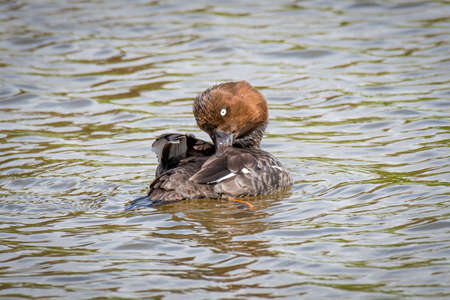 close up of a female goldeneye duck, Bucephala clangula, swimming with its head turned and preening the feathers on its back 免版税图像
