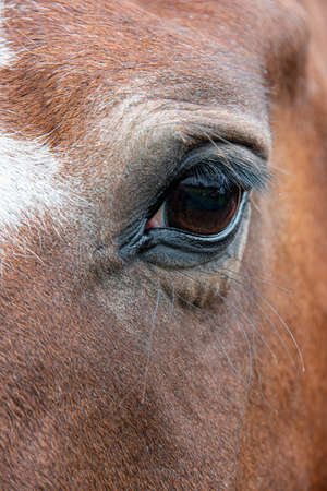 A very close up photograph of an eye on a horse. It shows the long eye lashes and the hair surrounding it is brown