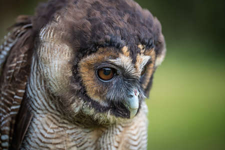 A close up head image of an Asian brown wood owl Strix leptogrammica. It is looking down with eyes wide open