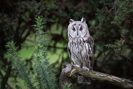 A full length portrait of a long eared owl perched on a branch. It is facing forward with its orange eyes wide open and staring 免版税图像