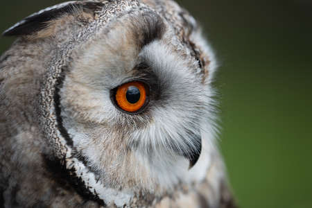 A very close image of a long eared owl. The photograph shows just the eye, beak and part of the head staring into open space