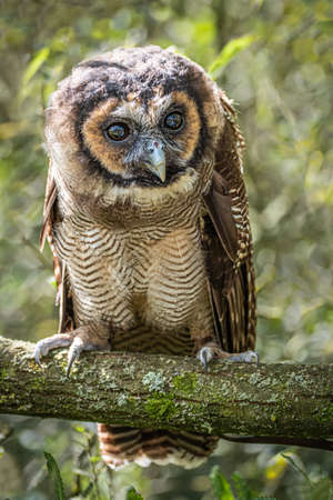 A full length portrait of an Asian brown wood owl Strix leptogrammica. It is perched on a branch with its eyes wide open