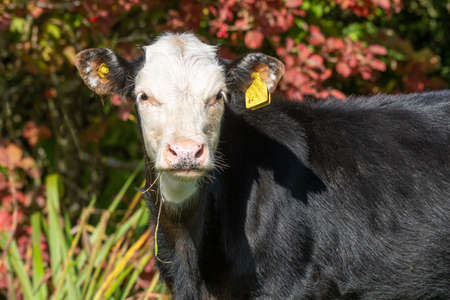 A close up portrait of a young calf with a black body and white face staring straight at the camera. It has grass from its mouth and yellow ear tags