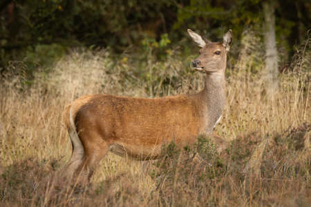 A red deer doe standing in the grass. A profile view with her head turned looking slightly to the left