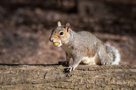 A close up portrait of an alert grey squirrel, Sciurus, sitting on a log in the sunshine with an acorn in its mouth