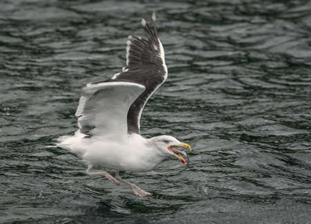 A herring gull flying low over the sea as it scoops up and if swallowing a large fish