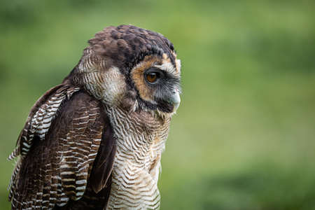 A close up half length profile portrait of a brown wood owl. Staring alert to the right into copy space