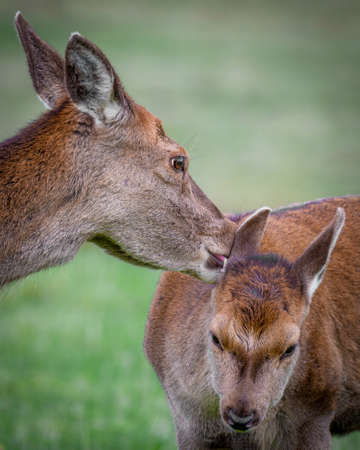 A close up of a red deer doe and fawn. The mother is licking behind the fawns ears. Cute photograph of a sign of motherly love