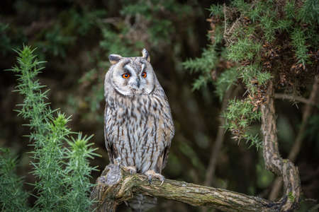 An alert long eared owl is perched on a branch looking slightly up to the right with large wide open orange eyes and it is surrounded by gorse 免版税图像