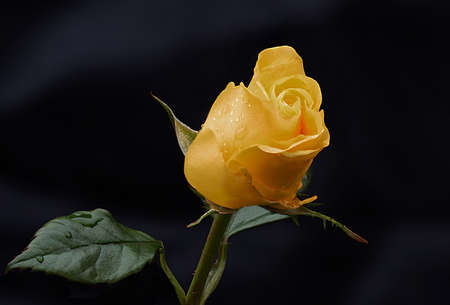 A single blossom of a yellow rose bud. The petals have droplets of rain water on them and its is taken against a dark background with lots of copy space