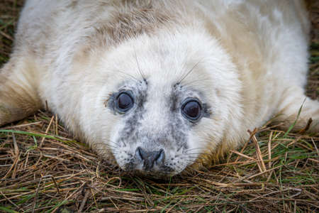 A very young seal pup close up photograph. It is lying on the beach staring forward at the camera