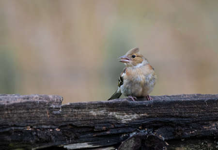 Close up of a Female chaffinch, Fringilla coelebs, looking to the left with a seed in her beak sitting on the top of an old gate