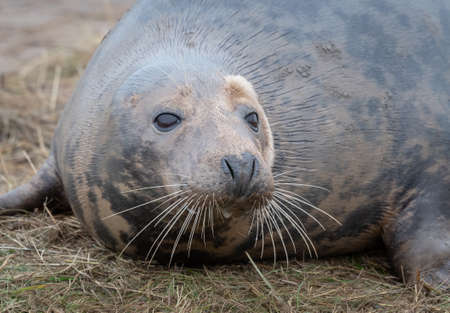 Close up of the head of a grey seal as it lies on the sand. Prominent whiskers in detail and eyes wide open