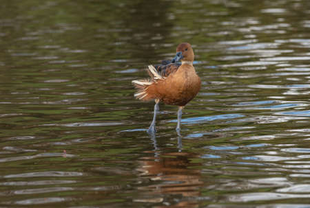 A fulvous whistling duck, genus Dendrocygna, also called tree duck  stands in the water with one leg raised and the wind blowing its tail feathers.
