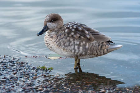 Close up side view of a marbled teal, Marmaronetta angustirostris, as it stands at the waters edge