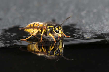 A detailed close up photograph off a wasp at the water edge as it drinks. There is a perfect reflection in the water.