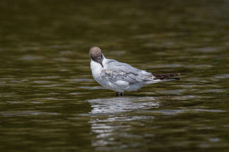 A black headed gull standing in the water and preening its feathers.