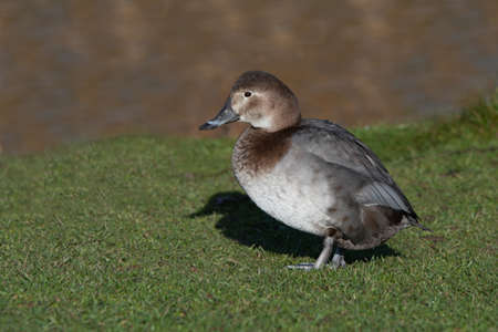 Portrait of a female pochard, Aythyra ferina, as she stands on the grass bank next to the lake