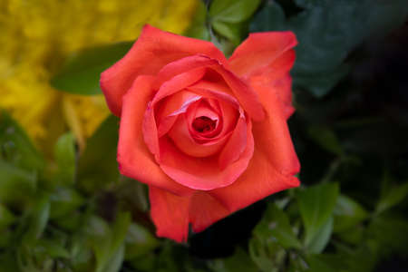 Single Red tea rose in bloom.Photo is a close up looking down on to the flower 写真素材